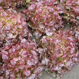 Дубаред семена салата тип Дуболистный красн. (Semo)