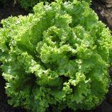 семена салата батавия золтан
