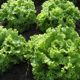 Золтан семена салата тип Батавия св.-зел. (Semo)