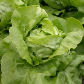 Маршал семена салата тип Маслянистый зел. (Semo)