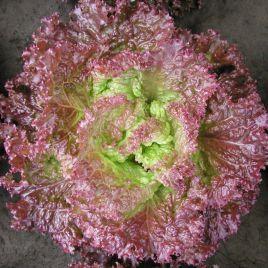 семена салата батавия росет