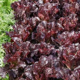 Дарк Роден семена салата тип Батавия красн. (Semo)