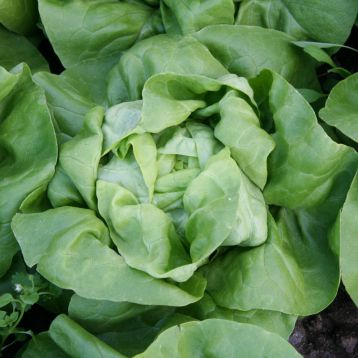 салат цезарос маслянистый