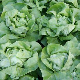 Цезарос семена салата тип Маслянистый зел. (Semo)