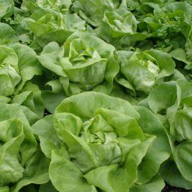 Цитрин семена салата тип Маслянистый зел. (Semo)