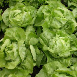Меркурион семена салата тип Маслянистый зел. (Semo)