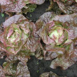Черванек семена салата тип Маслянистый красн. (Semo)