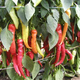 Паливец семена перца горького тип Козий Рог раннего 60-70 дн. удлинен. 17х2 см 3-4 мм зел./красн. (Semo)