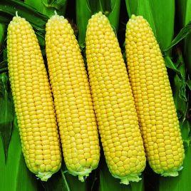 Сансвит F1 семена кукурузы суперсладкой (Erste Zaden)