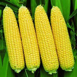 Сансвит F1 семена кукурузы суперсладкой Sh2 ранней 75-78дн. 25см 16-18р. (Erste Zaden)