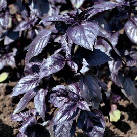 Гастроном семена базилика фиолет. фиолет. (Erste Zaden)
