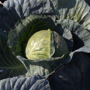 Магион F1 семена капусты б/к поздней 120-130 дн. 3,5-4 кг окр. (Moravoseed)