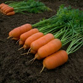 Арон F1 семена моркови ранней 75-80 дн. 10-12 см (Moravoseed)
