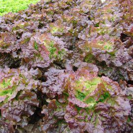 Роземари семена салата тип Маслянистый среднего 65-75 дн. красн. (Moravoseed)