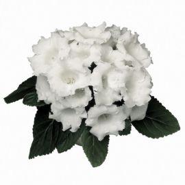 Аванти F1 белая семена глоксинии (Sakata)