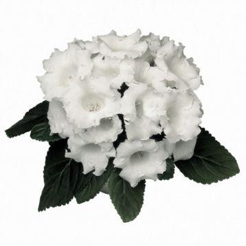 Глоксиния Аванти F1 белая (White)