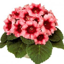 Аванти F1 персиково-розовая семена глоксинии (Sakata)