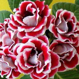 Брокад F1 красно-белая семена глоксинии махровой (Sakata)