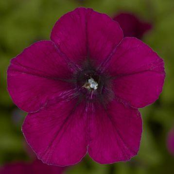 Пикобелла Каскад F1 бургунди семена петунии миллифлора (Syngenta)