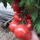 Пінк Імпрешен F1 насіння томата індет. раннього 200-240 гр. рожев. окр.-прип. (Sakata)