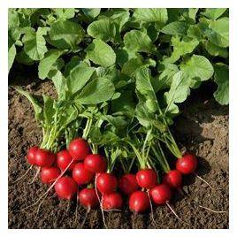 Рудольф семена редиса 20-24 дн. (Bejo)