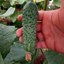 ГБ 08 F1 (GB 08 F1) семена огурца партенокарп. раннего 40-45 дн. 9-13 см (Erste Zaden)