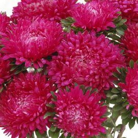 Сиринга темно-розовая семена астры однол. (Satimex ПН)