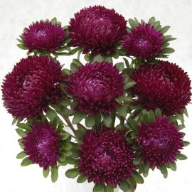 Сиринга пурпурная семена астры однол. (Satimex ПН)