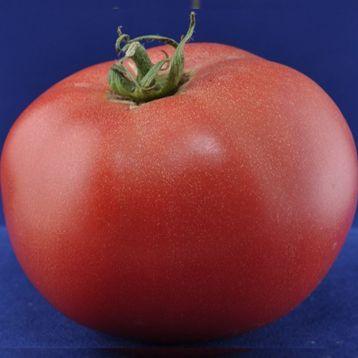 Сансет F1 (Sunset) семена томата индет. раннего 93-95 дн. окр. 180-200 гр. роз. (Элитный ряд)