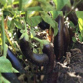 Черныш F1 семена баклажана раннего 95-100 дн. 150-180г цил.-грушев. (Элитный ряд)