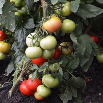 Атлант F1 семена томата индет. среднего 95-98 дн. 230-250 гр (Элитный ряд)