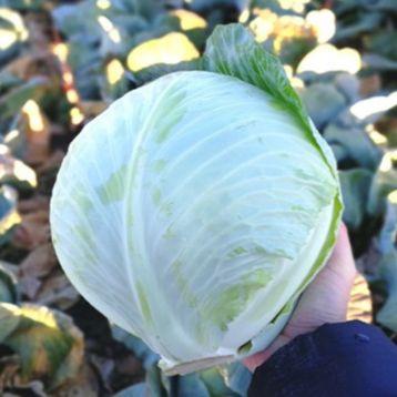 Алекса F1 семена капусты б/к поздней 120-125 дн. 2,5-3,0 кг окр. (Solare Sementi)