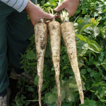 Длинный белый семена пастернака (Semo)