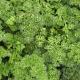 Кудринка семена петрушки листовой (Semo) НЕТ ТОВАРА