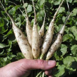 Рампоуч семена редиса белого удл. средн. (Semo)