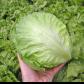 Максимо семена салата тип Айсберг (Semo)