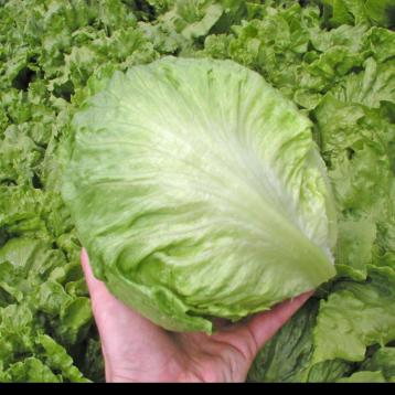 Максимо семена салата тип Айсберг зел. (Semo)