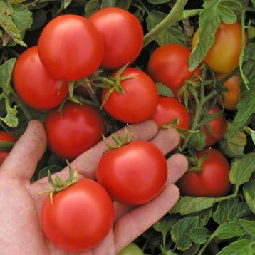 Марьянка F1 семена томата дет. (Semo)