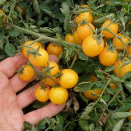 Миниголд семена томата дет. черри желтого (Semo)