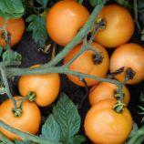 Оранж семена томата дет. оранжевого (Semo)