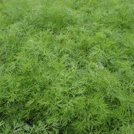 Ганак семена укропа (Semo)