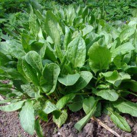 Широколистный семена щавеля (Semo)