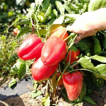 Кэтрин F1 (Кетрин F1) семена перца сладкого раннего 95-100 дн. 200-220 гр. 7-8 мм cв. зел./красн. (Solare Sementi)