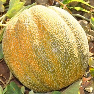 Танга семена дыни 4-6 кг (Solare Sementi)