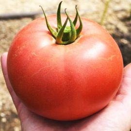ТС 02-0857 F1 (TS 02-0857 F1) семена томата полудет. раннего окр.-прип. розового 220-270г (Solare Sementi)