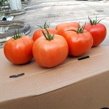Капонет F1 семена томата полудет. 220-250 гр. (Syngenta)