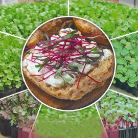 Свекла семена микрозелени (Seedera)