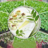 Горох семена микрозелени (Seedera)