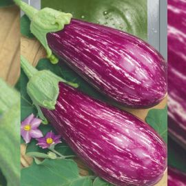 Цаконики семена баклажана полосат. (Seedera)