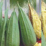 Люффа семена 40-60 см цилиндр 2-4 м (Seedera)